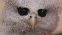 ハリポタの呪い? フクロウのペットがインドネシアで人気 大量捕獲に懸念も