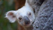 В Австралії показали маленьку білу коалу