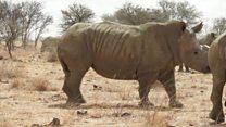 Des cornes de rhinocéros vendues aux enchères