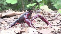 Crayfish take over Berlin park