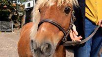 Shetland pony helps tackle dementia