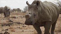 هل بيع قرون وحيد القرن بشكل قانوني سيحميه من الصيد والقتل؟