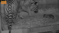 Endangered tiger cub born at zoo