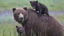 Aprende inglés: ¿Licencia para cazar osos en Alaska?