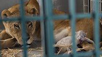 حيوانات لاحقها الموت في سوريا لتجد ملاذا في الأردن