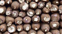 Banking on Kenya's gluten-free cassava