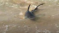 Shark moves in to Australian swimming pool