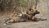 Cientistas desvendam por que cães selvagens na África fazem reuniões com 'espirros'