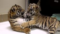 Tiger cubs meet for the first time
