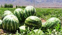 اماها و اگرها در صادرات هندوانه