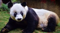 World's oldest giant panda dies aged 37
