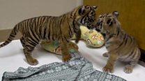 Друзі дитинства: як два зоопарки вирішили здружити тигренят