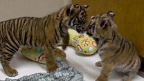 سماٹرن شیر اور بنگال ٹائیگر کی پہلی ملاقات