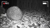 Meet the woman trying to save hedgehogs