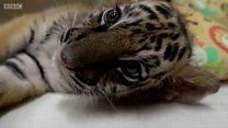 Товарищ по несчастью: как эти маленькие тигрята оказались вместе?