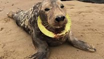 Seal treated for flying ring injuries