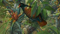 சமோ தீவில் மட்டுமே வாழும் அபூர்வ பறவைக்கான தேடுதல்