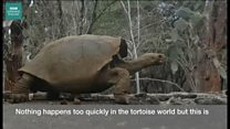 Extinct giant tortoise returns