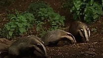 Badger cull protesters on patrol