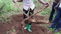 The tech fighting crop disease in Africa