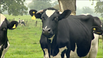 Cows milking it over sanction-hit Qatar