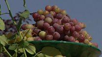 زرد، سبز و قرمز؛ همه شیرین؛ جشن انگور در شمال کابل