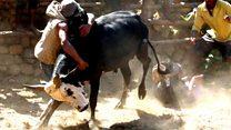 Bull wresting for love