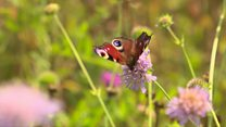 'Flower plea' to boost butterfly numbers
