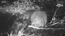 Kit spotted on recent survey in Knapdale Forest (Footage: Scottish Beavers)