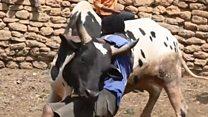 แข่งปล้ำวัวหาคู่รัก
