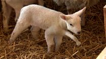 Lamb born with five legs