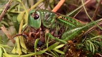 Could a rare insect cure a skin condition?