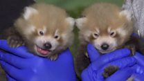 ICYMI: Puerto Rico and panda cubs