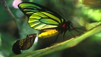 Largest butterfly could help Swallowtail