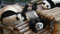 転がり落ちて落ちてまた落ちて――パンダのユニークな映像集