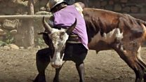 Los hombres que luchan cuerpo a cuerpo con toros bravos para conseguir novia