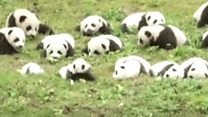Dozens of pandas on parade