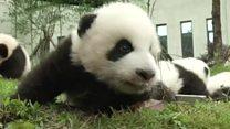 Panda party in China