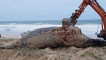 Whale bulldozed into beach grave