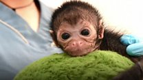 Baby spider monkey recovers after fall
