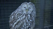Missing owl recaptured after fortnight