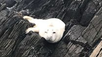 Baby seal rescued from N Ireland rocks