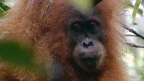 Tapanuli, spesies terbaru orangutan