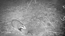 Hole draws in fox, badger - and cow