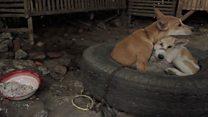 Daging Anjing dianggap dorong sebarkan rabies?