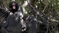 Are politicians really like chimps?
