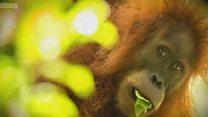 ग्रेट एपच्या नविन प्रजातीचा 100 वर्षानंतर शोध