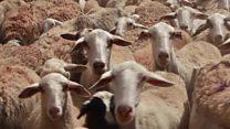 भेड़ों के बारे में पता चली एक चौंकाने वाली बात!