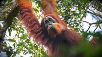 Encontrada nova espécie de orangotango na Indonésia
