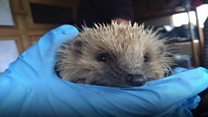 The problem with rescuing baby hedgehogs